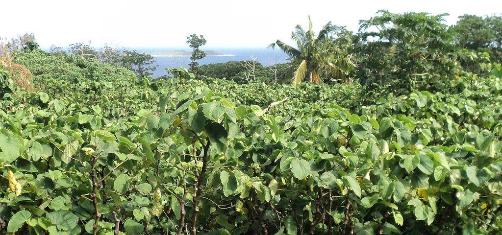 Field of kava plants